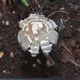 Ein Pilz im Kräuterbeet – Nur, welcher ist es?