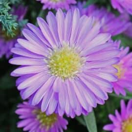 Die Wunderschöne blüht in voller Pracht