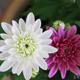 Blühende Schönheiten in zwei Farben